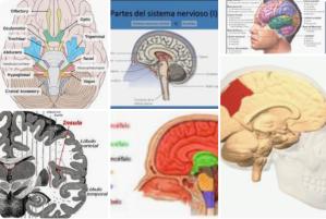 neurodidactica bases neuropsicologicas neurodidactic