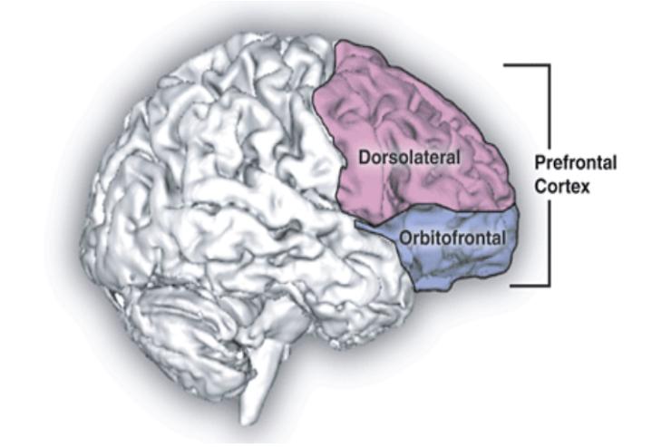 córtex prefrontal funciones ejecutivas